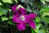 Flowers of lilac clematis in the summer garden. Spring park. - 188735440