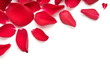 Red rose flower petal banner. Rose petals isolated on a white background.