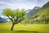 Frühling im Allgäu - alter Apfelbaum auf einer Alpenwiese - 188737255