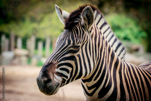 Fototapeta Zebra close up portrait