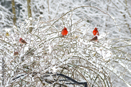 Foto Murales Three male Cardinals sit together in a snowy bush.
