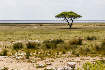 Etosha-Phanne mit Baum, Namibia, Ethosha Pan with Tree, Namibia