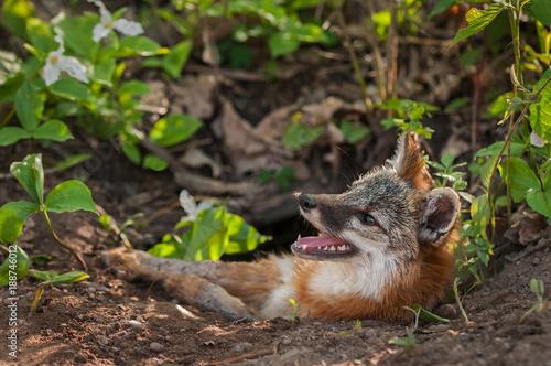 Foto Murales Grey Fox Vixen (Urocyon cinereoargenteus) With Mosquito on Nose