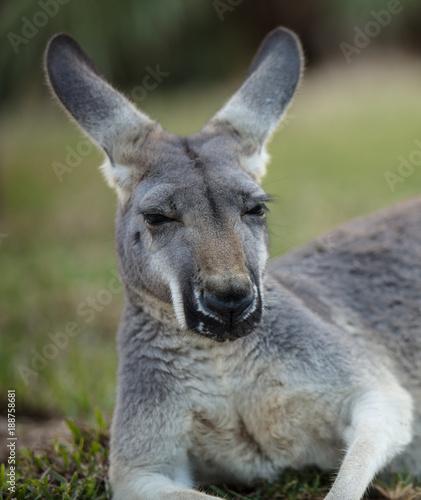 Fotobehang Kangoeroe female red kangaroo close up