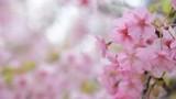 桜の花 早春    - 188774056