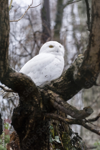 Snowy owl looks around.