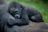 A gorilla baby - 188794484