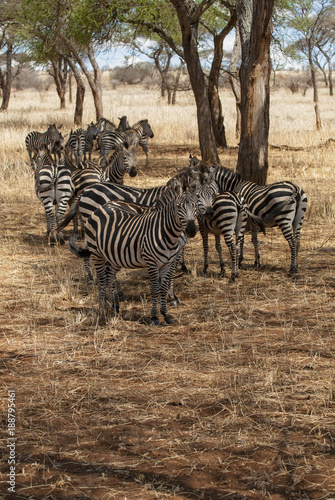 Fototapeta Herd of zebras in trees