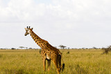 The giraffe (Giraffa), genus of African even-toed ungulate mammals, the tallest living terrestrial animals and the largest ruminants, part the Big Five game animals in Serengeti, Tanzania - 188801209