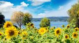Landschaft im Sommer: Sonnenblumenfeld mit Regenbogen am Bodensee an einem warmen, schönen Sommertag :)