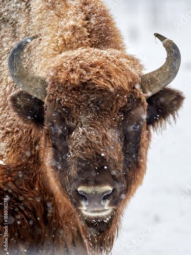 Aluminium Bison European bison (Bison bonasus) in natural habitat in winter