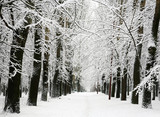 Alley of trees with branches covered with snow