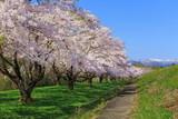 桜並木 - 188836028
