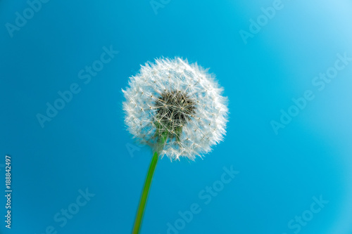 Dandelion seed head against blue sky with copy space - 188842497