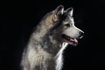 chien de race husky sibérien gris adulte en studio sur fond noir