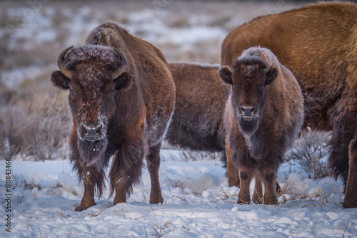 Fotobehang Bison Father and Son Bison