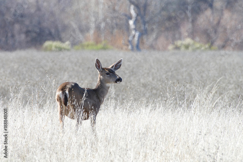 Foto Murales Young deer standing alone in a drought parched field in Northern California. Female reindeer, and male deer of all species (except the Chinese water deer), grow and shed new antlers each year.