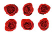 Valentines Red Roses isolated on a white background
