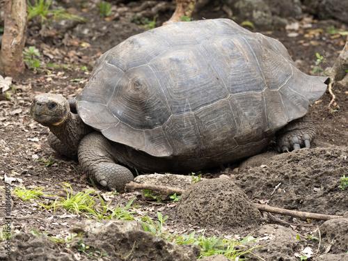 Galapagos Giant Tortoise, Chelonoidis chathamensis in the stony terrain of the center, Centro de Crianza de Tortugas, San Cristobal, Glapagos, Ecuador