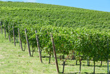 Green vineyards hill in a sunny day, blue sky