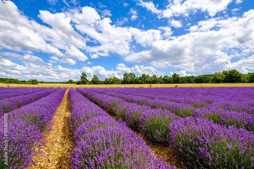 Keuken foto achterwand Snoeien Champ de lavande, en été, ciel bleu avec de beaux nuages