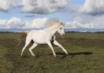 Thoroughbred Arabian Horse plays