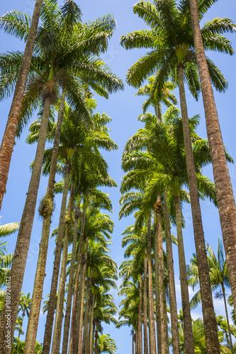 Fotobehang Rio de Janeiro Avenue of tall royal palm trees soar into bright blue tropical sky in Rio de Janeiro, Brazil