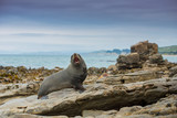 fur seal in Moeraki