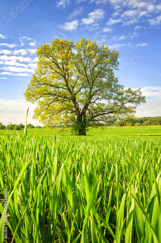 Poster Lime groen Spring green meadow with big tree on bright sunny day. Spring landscape of green nature. Scenery summer field with grass