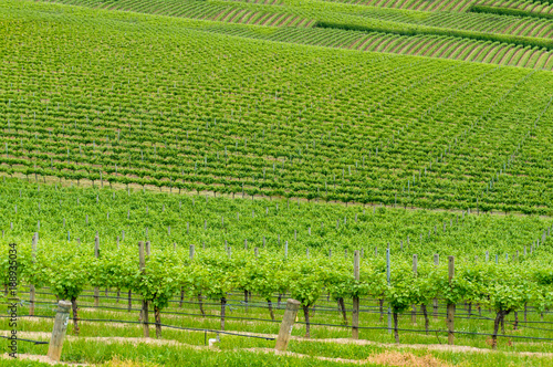 Foto op Canvas Pistache VIneyard landscape of green grape vines on the hill
