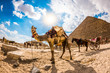 Tethered camel in front of the pyramid of Cheops in Egypt, horses and carriages in the background