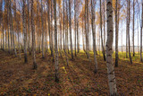 Yellow birches in autumn time.