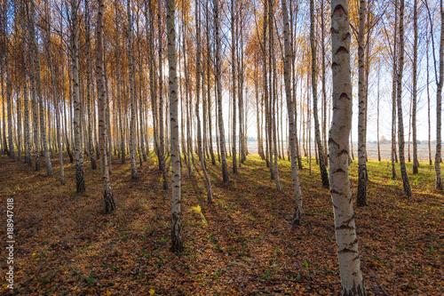 Fotobehang Berkenbos Yellow birches in autumn time.