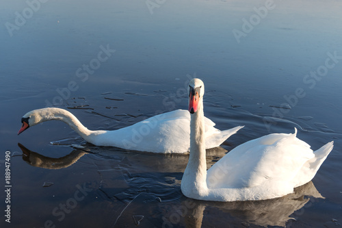 Swans in icy water.