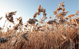 winter dry reeds in the rays of the rising sun - 188955862