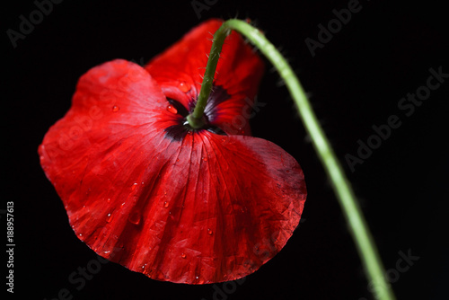 poppy flower on the black background