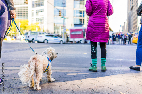 Foto op Plexiglas New York TAXI Midtown Manhattan NYC New York City with ground level closeup of terrier dog on leash, people standing waiting to cross street by Columbus Circle, Central Park