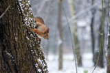 Snow squirrel in the park - 189014261