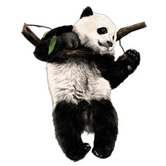 Panda hanging on a branch and swinging his legs sketch vector graphics color picture