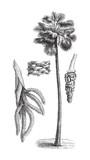 Palmyra palm (Borassus flabelliformis) / vintage illustration from Meyers Konversations-Lexikon 1897