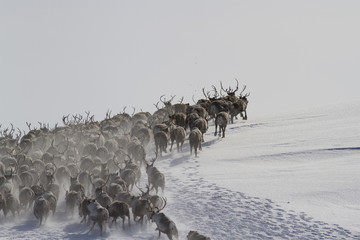 A large herd of reindeers running along the slope of a snow-covered hills