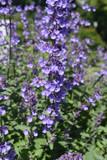 Lovely Image of Lavender in Full Bloom