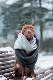adorable american pit bull terrier puppy sitting on a bench in a scarf - 189043006