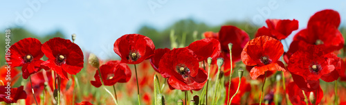 Poster red poppy flowers in a field