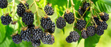close up of ripe blackberry in a garden