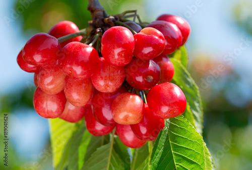 Fotobehang Kersen branch of ripe cherries on a tree in the garden