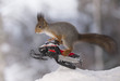 Red squirrel jumping with  snowmobile