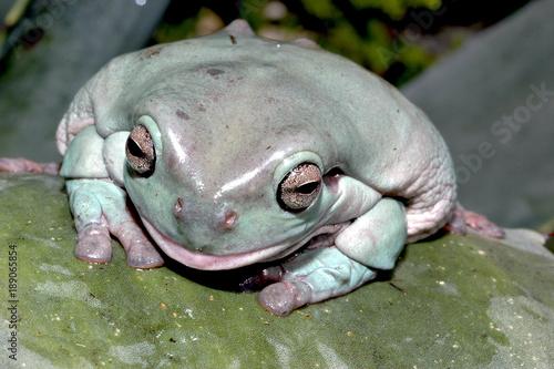 Fotobehang Kikker grenouille litoria caerulea