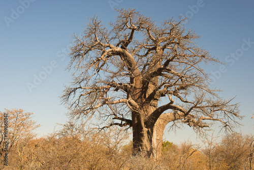 Papiers peints Baobab Baobab plant in the african savannah with clear blue sky. Botswana, one of the most attractive travel destination in Africa.