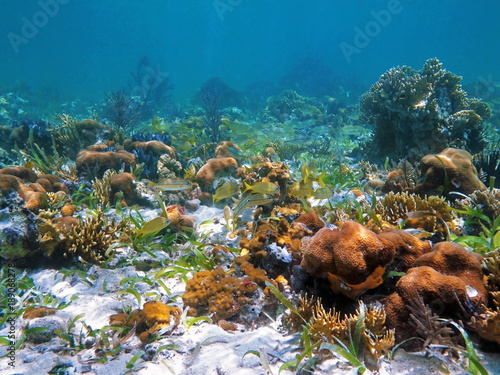 Coral reef and fish in the Caribbean sea, Central America, Panama